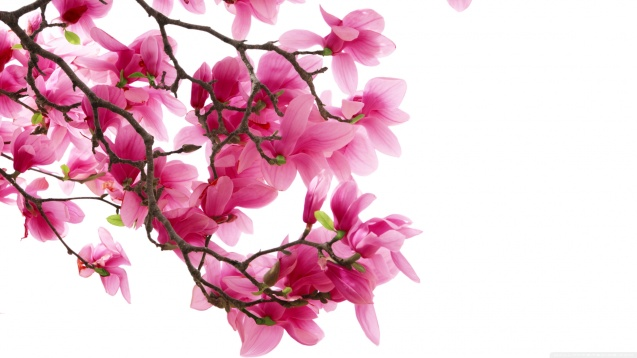 Pink Magnolia Flowers Wallpaper
