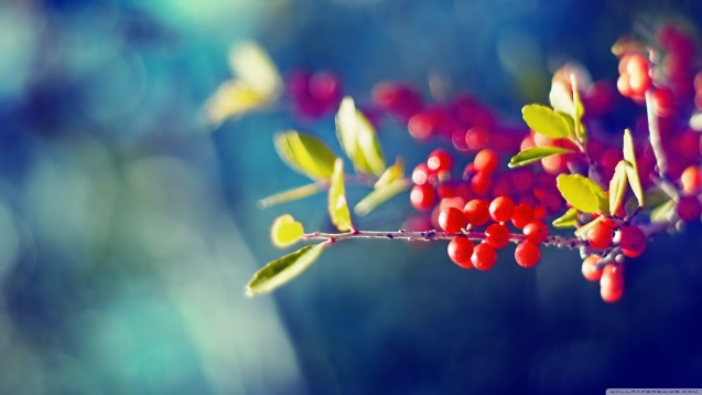 Macro Red Berries Branch wallpaper